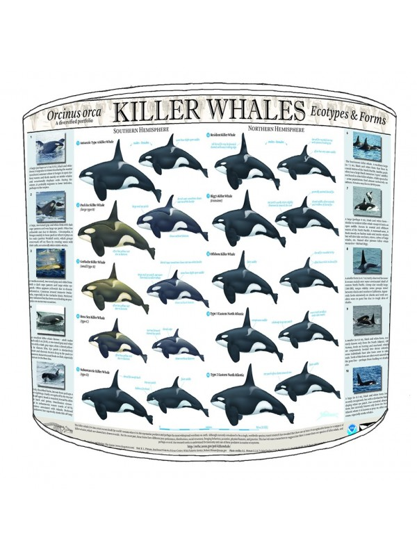 killer whale types lampshade